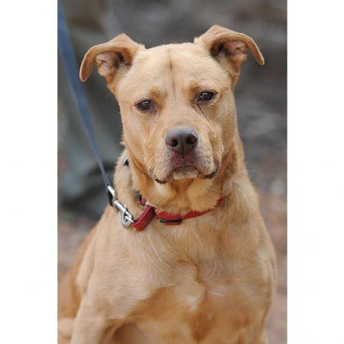 Adoptable Female Labrador Retriever / Mixed