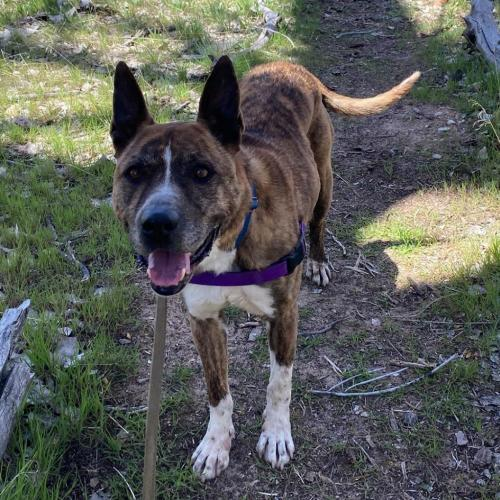 Adoptable Male German Shepherd Dog / American Pit Bull Terrier / Mixed