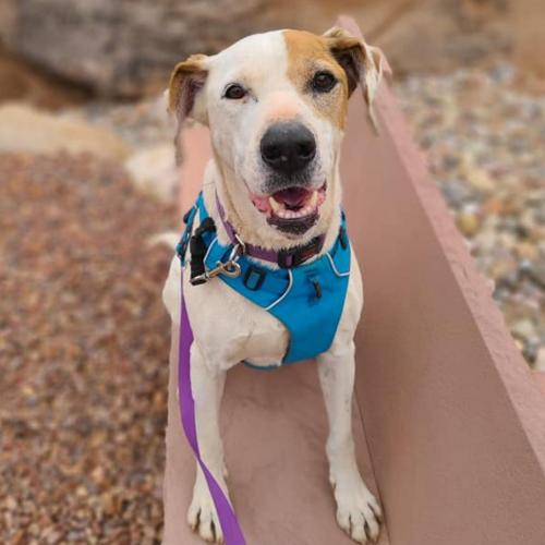 Adoptable Male Pointer / American Pit Bull Terrier / Mixed