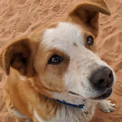 Adoptable Female Cattle Dog / Shepherd / Mixed