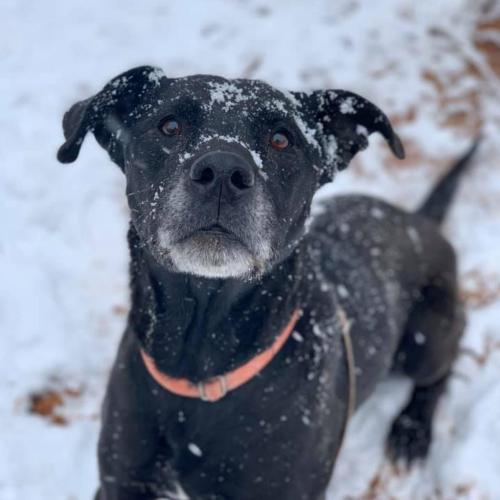 Adoptable Male Labrador Retriever