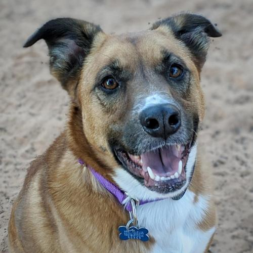 Adoptable Female Boxer / Shepherd / Mixed