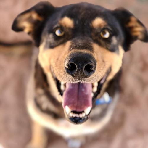 Adoptable Male Cattle Dog / Mixed