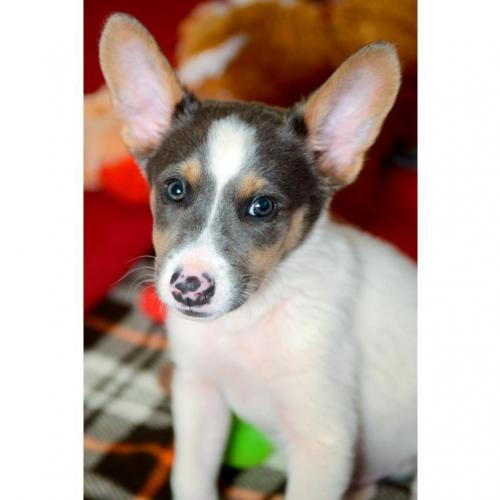 Adoptable Male Shepherd / Cattle Dog / Mixed