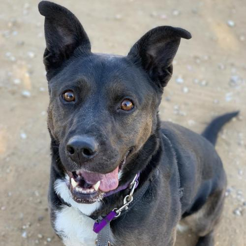 Adoptable Female Border Collie / Labrador Retriever / Mixed