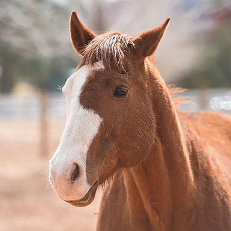 Adoptable Male Quarterhorse