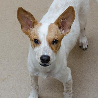 Adoptable Female Cattle Dog
