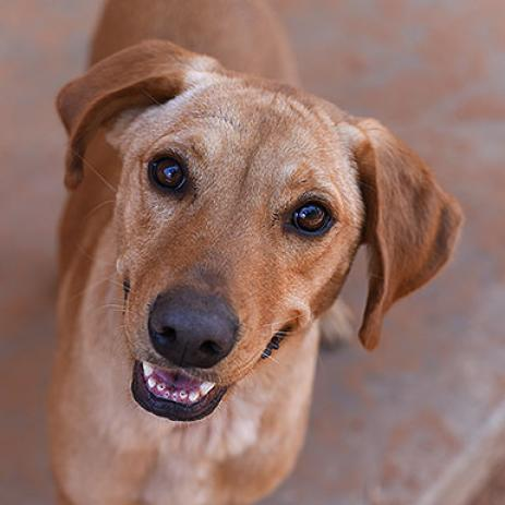 Adoptable Female Labrador Retriever