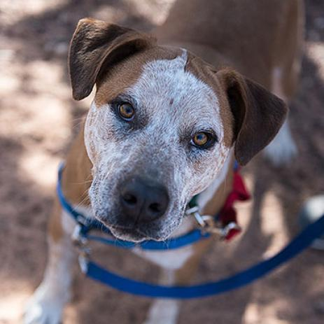 Adoptable Male Cattle Dog / Red Heeler / Mixed