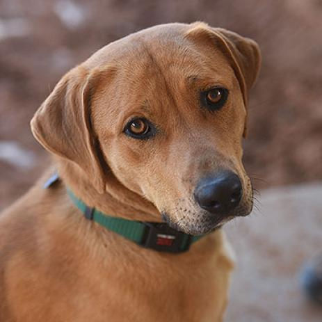 Adoptable Male Rhodesian Ridgeback / Mixed
