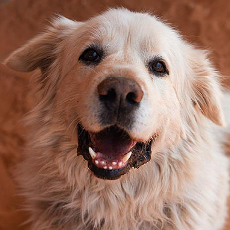 Adoptable Male Great Pyrenees