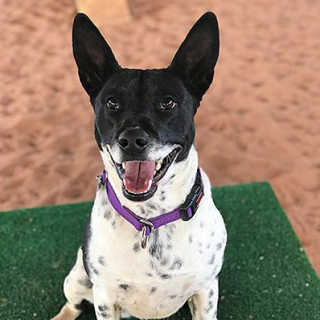 Adoptable Female Queensland Heeler / Mixed