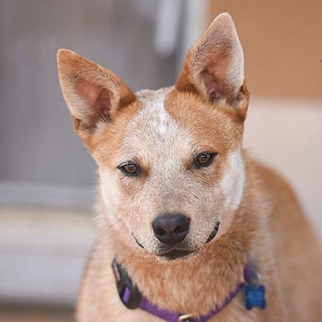 Adoptable Male Red Heeler