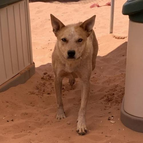 Adoptable Male Cattle Dog