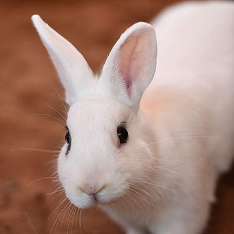 Adoptable Male Dwarf Hotot / Mixed