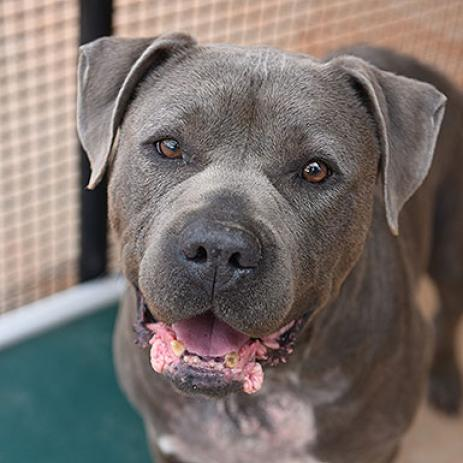 Adoptable Male Mastiff / American Pit Bull Terrier / Mixed