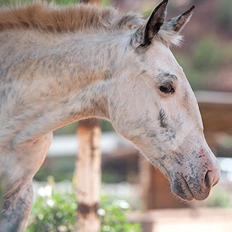 Adoptable Female Appaloosa
