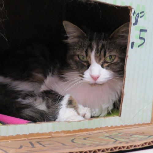 Adoptable Female Domestic Long Hair