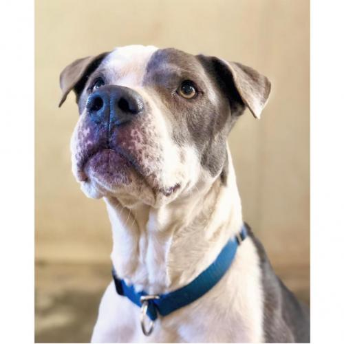 Adoptable Male American Staffordshire Terrier