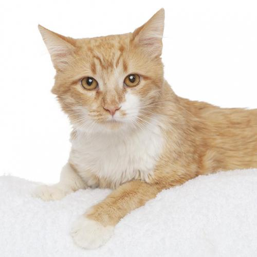 Adoptable Male Domestic Medium Hair