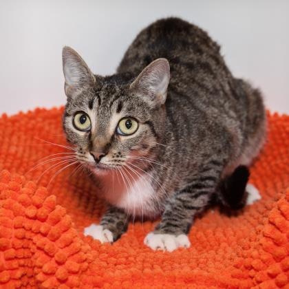 Adoptable Female Domestic Short Hair / Mixed
