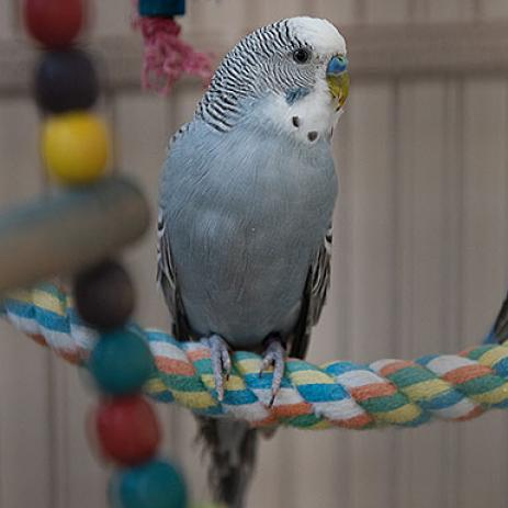 Adoptable Male Parakeet - Other