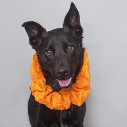 Adoptable Male Shepherd / Mixed