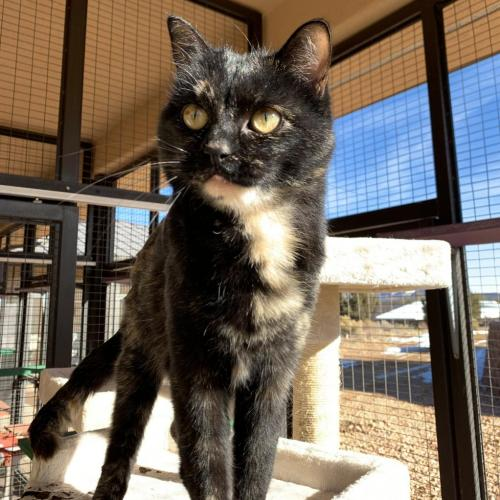 Adoptable Female Domestic Short Hair