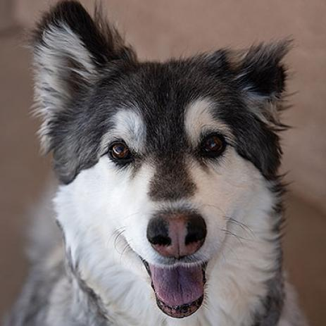 Adoptable Male Alaskan Malamute / Mixed