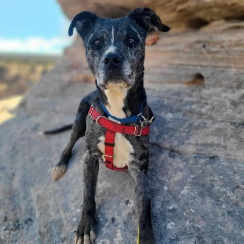 Adoptable Female Catahoula Leopard Dog / American Pit Bull Terrier / Mixed