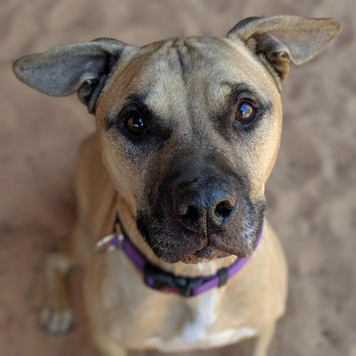 Adoptable Male Black Mouth Cur / Pit Bull Terrier / Mixed