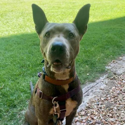 Adoptable Female American Pit Bull Terrier / Boxer / Mixed