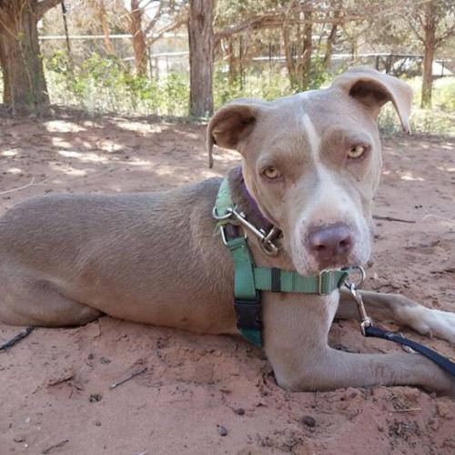 Adoptable Female American Pit Bull Terrier / Mixed