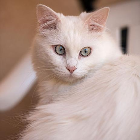 Adoptable Female Domestic Long Hair / Manx / Mixed