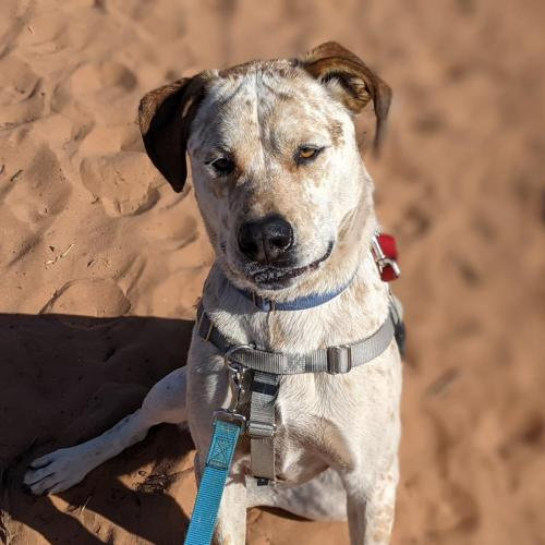 Adoptable Male Hound / American Pit Bull Terrier / Mixed