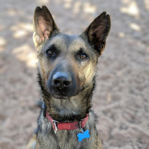 Adoptable Male Belgian Shepherd Malinois