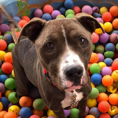 Adoptable Male American Pit Bull Terrier