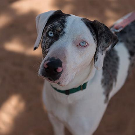 Adoptable Male Catahoula Leopard Dog / Mixed