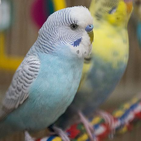 Parakeet - Other named Archie available for adoption | Best Friends