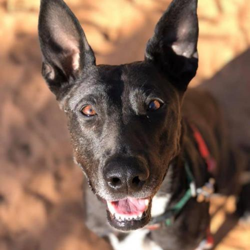 Adoptable Female Belgian Shepherd Malinois / German Shepherd Dog / Mixed