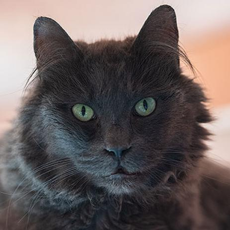 Adoptable Male Domestic Long Hair