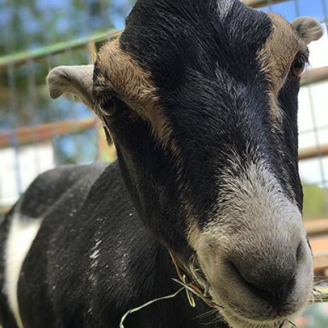 Adoptable Male LaMancha