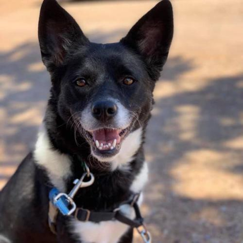 Adoptable Female Border Collie / Cattle Dog / Mixed
