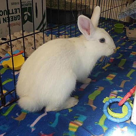 Adoptable Female Dwarf Hotot