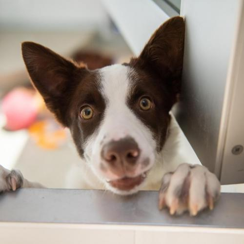 Adoptable Female Border Collie / Mixed