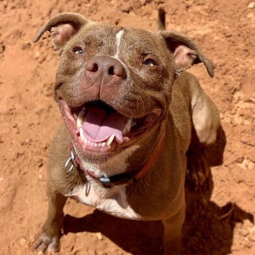 Adoptable Male Pit Bull Terrier / Mixed