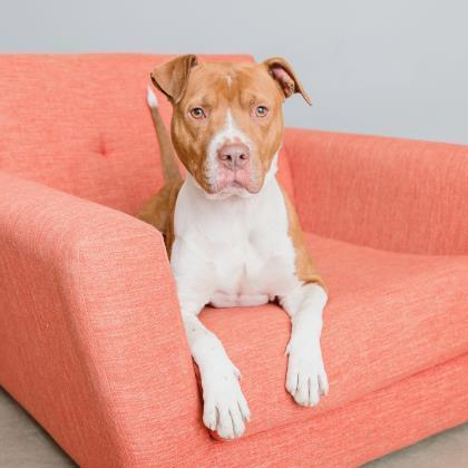 Adoptable Male American Pit Bull Terrier / Mixed