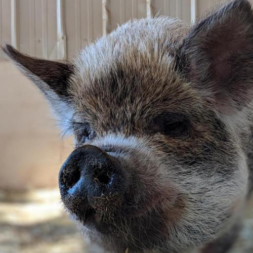 Adoptable Female Pig / Mixed