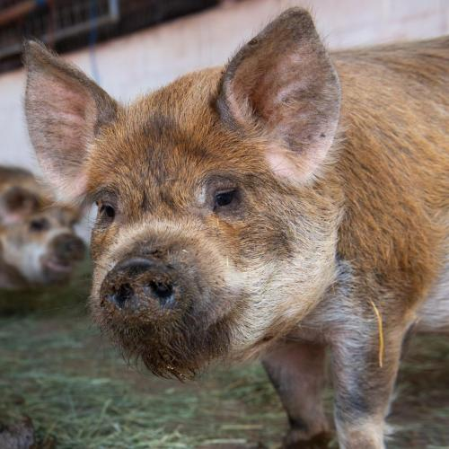 Adoptable Male Pig / Mixed