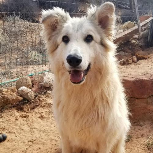 Adoptable Male Great Pyrenees / Mixed